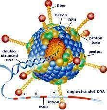Desarrollo De Una Estrategia De Terapia Celular-génica Para El Tratamiento De La Glucogenosis Tipo 2
